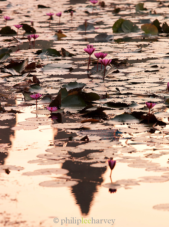 Water lilies in the moat surrounding Angkor Wat at Angkor, Siem Reap Province, Cambodia