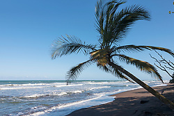 Palm tree on the beach, Samara, Costa Rica