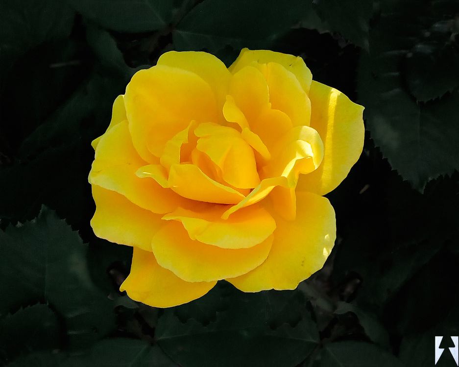 Overhead shot of a single bright yellow rose on very dark nearly black background foliage.