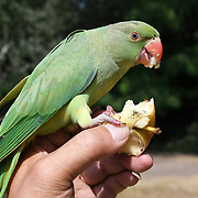 UK Weather: People feeding Parakeet with apple and nuts as Heatwave continues in Hype park, London, UK. July 26 2018.