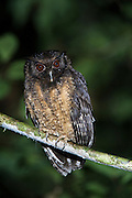 Tawny-bellied Screech-owl (Megascops watsonii)<br /> Yasuni National Park, Amazon Rainforest<br /> ECUADOR. South America<br /> HABITAT & RANGE: Subtropical or tropical moist lowland forests and subtropical or tropical swamps of Bolivia, Brazil, Colombia, Ecuador, Guianas, Venezuela and Peru.