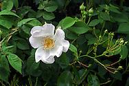 Rosa macrantha flower and buds in a backyard rose garden