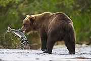 A successful coastal brown bear ( Ursus arctos ) holds a captured salmon with his teeth, Katmai Peninsula, Alaska