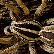Mexican Lycosid, Wolf spider, Rabidosa santrita,<br /> These spiders appeared in vast number at Rancho de Diablo, Sonora Mexico.