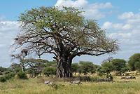 Grant's Zebras, Equus quagga boehmi, and Wildebeests, Connochaetes taurinus, graze under a Baobab tree, Adansonia digitata, in Tarangire National Park, Tanzania