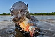 Riesenotter (Pteronura brasiliensis) im Pantanal, Porto Jofre, Brasilien<br /> <br /> Scenes in the Pantanal, Brazil
