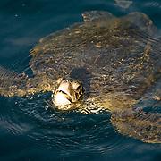 Green Sea Turtle (Chelonia mydas) with its head exposed. Galapagos Islands, Ecuador