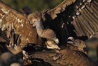 Griffon vulture (Gyps fulvus), Montejo de la Vega, Segovía, Castilla and Leon, Spain.