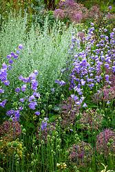 Campanula persicifolia with Artemisia absinthium 'Lambrook Mist' AGM, Allium cristophii and the buds of Allium sphaerocephalon
