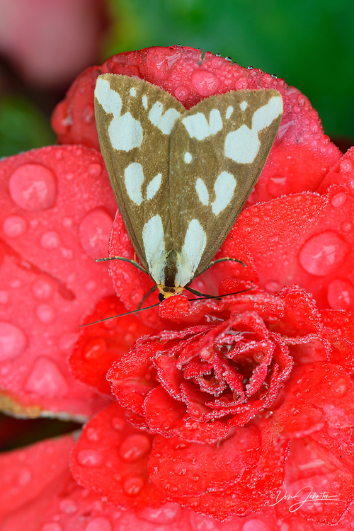 Confused Haploa moth  (Haploa confusa) Resting on red garden flowers, with raindrops, Greater Sudbury, Ontario, Canada