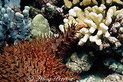 red-spotted guard crab or defender crab, Trapezia tigrina, drives away a crown of thorns sea star, Acanthaster planci, from coral patch by pinching its spines<br /> Kona, Hawaii, USA ( Pacific )