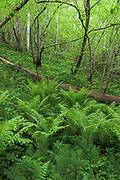 "A fresh start like every new spring - young growth of basket or male ferns (Dryopteris filix-mas) on forest floor on the sides of ""Lustužkalns"", Kemeri National Park (Ķemeru Nacionālais parks), Latvia Ⓒ Davis Ulands   davisulands.com"