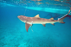 Tagging Lemon Shark