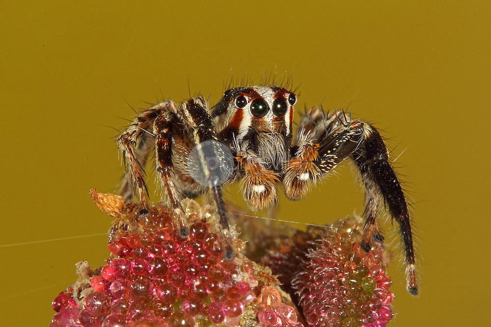 Araña saltadora © / PILAR REVILLA ©Country Sessions / PILAR REVILLA