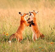 Young Red Fox kits (Vulpes vulpes) appear to dance a foxtrot as they play.  Alberta, Canada