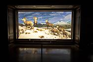 Stone sheep diarama at the Natural History Museum of Los Angeles County