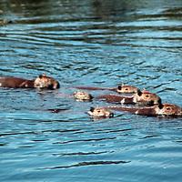 South America, Brazil, Pantanal. A family of capybara swim across a river in the Pantanal.