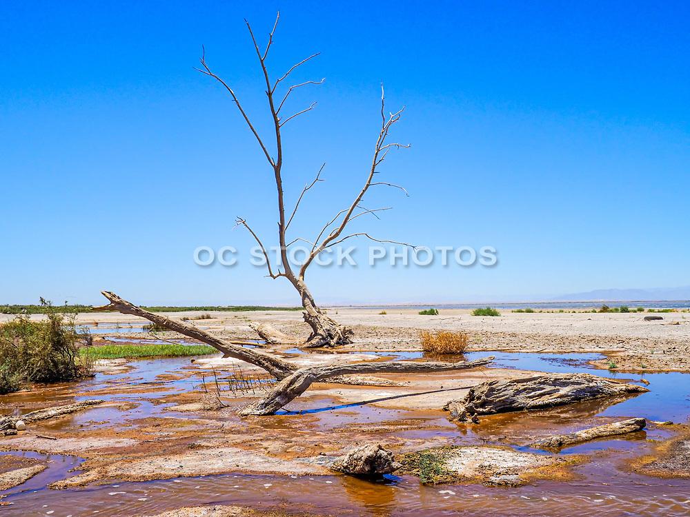 Dead Trees at Salton Sea