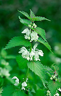 WHITE DEAD-NETTLE Lamium album (Lamiaceae) Height to 40cm. Downy, slightly aromatic and patch-forming perennial with square stems. Grows on roadside verges and disturbed ground in grassland and woodland margins. FLOWERS are 25-30mm long and white, with a hairy upper lip and toothed lower lip; borne in whorls (Mar-Nov). FRUITS are nutlets. LEAVES are ovate to triangular with a heart-shaped base, toothed and stalked. Superficially similar to those of Common Nettle but lack stinging hairs. STATUS-Widespread and common throughout, except N Scotland.