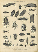 Onchidium (Air Breathing Sea Slugs) and Oniscus (woodlice) Copperplate engraving From the Encyclopaedia Londinensis or, Universal dictionary of arts, sciences, and literature; Volume XVII;  Edited by Wilkes, John. Published in London in 1820