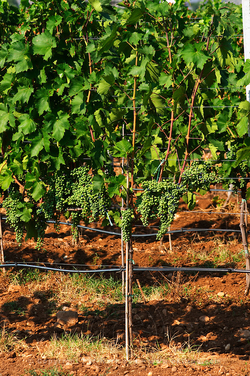 Vines in the vineyard. Vines equipped with black rubber or plastic tubes for artificial irrigation watering. Many grape bunches on the vine. Fan style cane training. The vine training pruning method is actually a mix between Cordon de Royat and Guyot according to the vineyard manager. Vranac grape variety. Typical red reddish clay sand sandy soil mixed with pebbles rocks stones in varying amount. Hercegovina Vino, Mostar. Federation Bosne i Hercegovine. Bosnia Herzegovina, Europe.