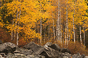 Aspens near Lost Horse Creek, Montana.