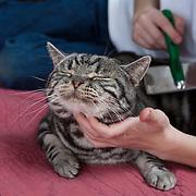 20101121American Shorthair Cats