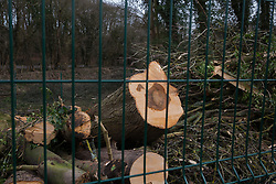 Wendover, UK. 20th February, 2021. Felled trees are pictured in an area of woodland alongside Small Dean Lane which is currently being cleared for the HS2 high-speed rail link. Anti-HS2 activists continue to occupy the Wendover Active Resistance Camp on the opposite side of the rail line from the woodland.