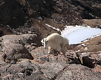 Mountain goat climbing