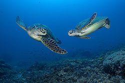 A pair of Green Turtles, Chelonia mydas, cavort over a hard coral slope.  Raja Ampat, West Papua, Indonesia
