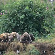 Alaskan Brown Bear, (Ursus middendorffi) Sow and cubs resting. Kodiak Island. Alaska.
