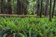 Sword Ferns (Polystichum munitum) surround a fallen tree at Cathedral Grove in Macmillan Provincial Park near Port Alberni, British Columbia, Canada