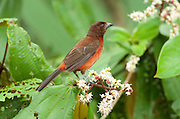 Crimson backed Tanager, Ramphocelus dimidiatus, Panama, Central America, Gamboa Reserve, Parque Nacional Soberania, female perched in tree,