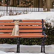 I was shooting in the early morning at the Loyola Jesuit Center in Morristown, NJ when I turned around and there was the cat.  Obviously, it is not live.  I was amused by its position on the bench, the two different colored eyes and the setting in the snow.