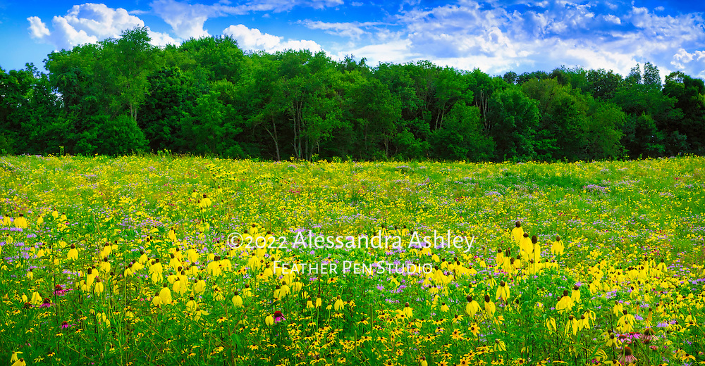 Central Ohio tallgrass prairie meadow resplendent with native wildflowers in full bloom under a partly cloudy sky in late July.