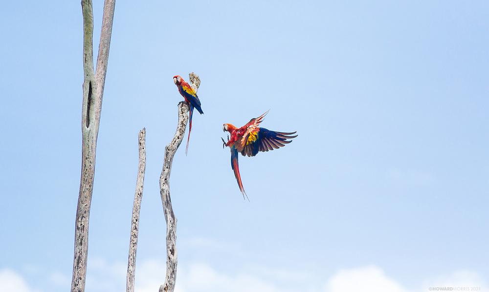 A pair of scarlet macaws (Ara Macao Cyanoptera) attempt to draw attention away from their nest. Chalillo dam, Belize.