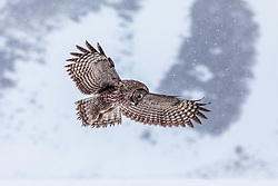 Hunting Great Grey Owl during spring snowstorm