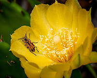 Amorous Fireflies in Daylight on a Yellow Prickly Pear Flower. Image taken with a Nikon 1 V3 camera and 70-300 mm VR lens.