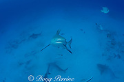bull shark, Carcharhinus leucas, female in seasonal breeding aggregation rises off bottom towards photographer, Playa del Carmen, Cancun, Quintana Roo, Yucatan Peninsula, Mexico ( Caribbean Sea )