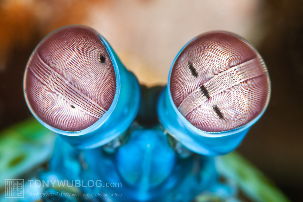 Detailed view of the unique structure of the compound eyes of a harlequin mantis shrimp (Odontodactylus scyllarus)., photographed at 3x life-size magnification. The eyes of mantis shrimps comprise what may perhaps be the most complex visual system that has ever evolved. Each eye sits atop a mobile stalk, with each stalk capable of moving independently. Each eye comprises two flattened hemispheres separated by parallel rows of specialized clusters of photoreceptor cells called ommatidia. These rows collectively make up the midband. This 3-part division facilitates trinocular vision in each eye, which means each eye is capable of depth perception. Depending upon the species, mantis shrimps have between 12 and 16 types of photoreceptors (compared to three for humans), giving these crustaceans the ability to perceive a wide spectrum covering from far red to ultraviolet, as well as polarized light.