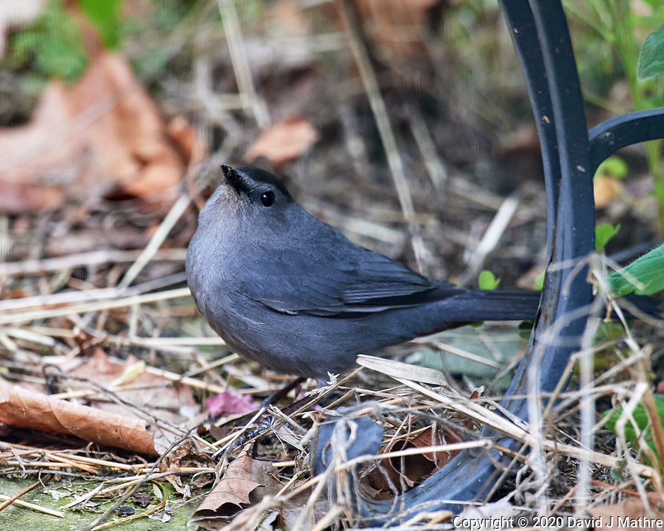 Gray Catbird. Image taken with a Nikon D5 camera and 600 mm f/4 VR lens (ISO 1600, 600 mm, f/5.6, 1/125 sec)