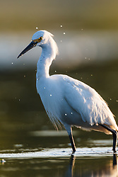 Snowy egret, Lemon Lake, Great Trinity Forest near Trinity River, Dallas, Texas, USA.