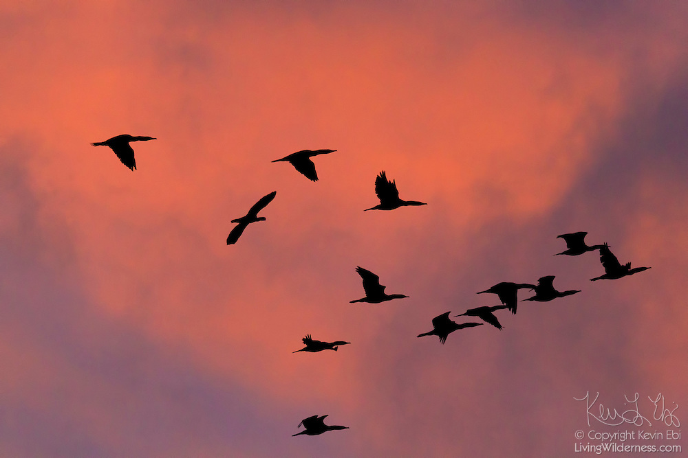 A flock of double-crested cormorants (Phalacrocorax auritus) are rendered in silhouette as they fly against a colorful winter sunset. Most cormorants are found along the coast; the double-crested cormorant is typically the only one found very far inland.
