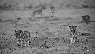 Lion cubs roam and play with their siblings in the iconic Maasai Mara.