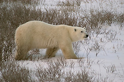 Photo: 19493..Canadas polar bear country around Churchill, Manitoba, at Gordon Point and nearby at Cape Churchill in Wapusk National Park on the south edge of Hudson Bay.  Photos of polar bears males, females, and cubs.  Fauna includes polar bears, arctic hares, and arctic foxes.  Landscapes of the tundra terrain and ice forming on Hudson Bay, plus sunrises and sunsets.  Polar bear viewing in Tundra Buggies while staying at the Tundra Buggy Lodge, operated by Frontiers North.  Photo copyright Lee Foster, 510-549-2202, lee@fostertravel.com, www.fostertravel.com.