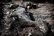 Fires in Greece - Dead animals. Dead animals in makistos, Greece, on monday, Sep. 3, 2007<br /> <br /> More than 60.000 animals mostly from private households died under the heavy wildfires in Greece this summer.