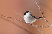 Stock photo of black-capped chickadee captured in Colorado.  The chickadee has one of the most complex vocalizations of all animals.