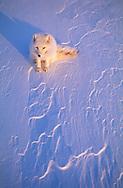 Arctic fox, Vulpes lagopus, Ellesmere Island, Nunavut, Canada, Arctic