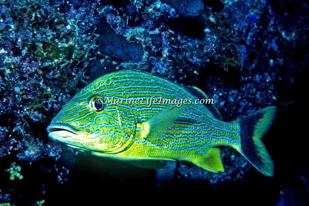 Bluestripe Grunt inhabit reefs in Tropical West Atlantic; picture taken Key Largo, FL.