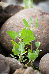 Young Spear - leaved Orache growing on a rocky shore at the Lizard, Cornwall. Atriplex prostrata